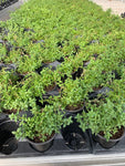 "ENGLISH THYME - 3 1/2"" POT - ORGANIC HERBS"