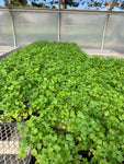 "PARSLEY PLAIN/ITALIAN - 3 1/2"" POT - ORGANIC HERBS"