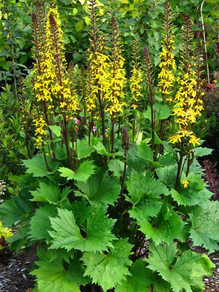 Ligularia Little Rocket - Perennial Gallon