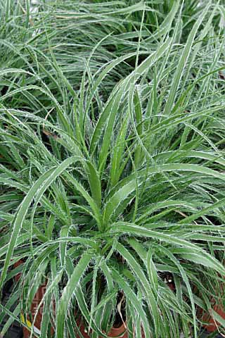Luzula Lucius (Snow Wood Rush) - Perennial Grass 3 1/2""