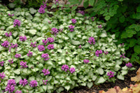 Lamium Maculatum Purple Dragon - Perennial 3 1/2""