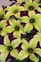 "Petunia Crazytunia Knight Rider - Annual 4 1/2"" - Each"