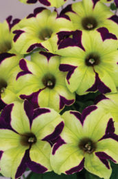 "Petunia Crazytunia Knight Rider - Annual 4 1/2"" - Over 12"