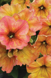 "Petunia Crazytunia Terracotta - Annual 4 1/2"" - Over 12"