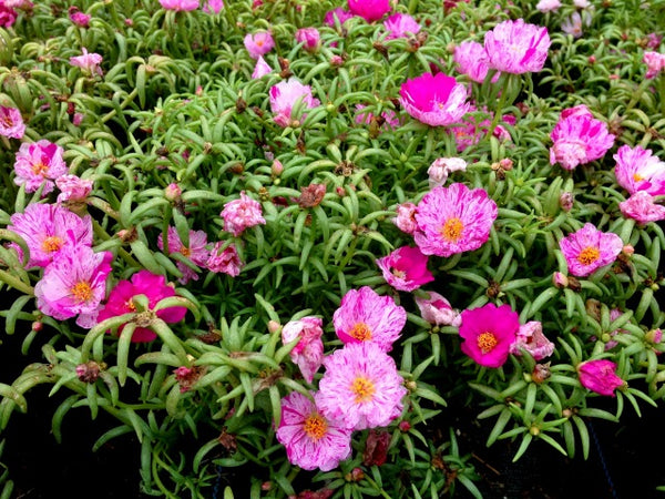 Portulaca Happy Hour Peppermint - Annual 6 Pack