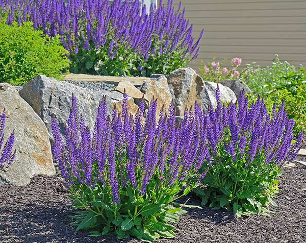 Salvia May Night - Perennial Gallon