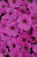 Petunia Easy Wave Neon Rose - Annual Flower Plug - Each