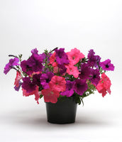Petunia Easy Wave Opposites Attract Mix- Annual Flower Plug - Each