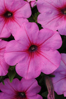 Petunia Easy Wave Pink Passion - Annual Flower Plug - Each