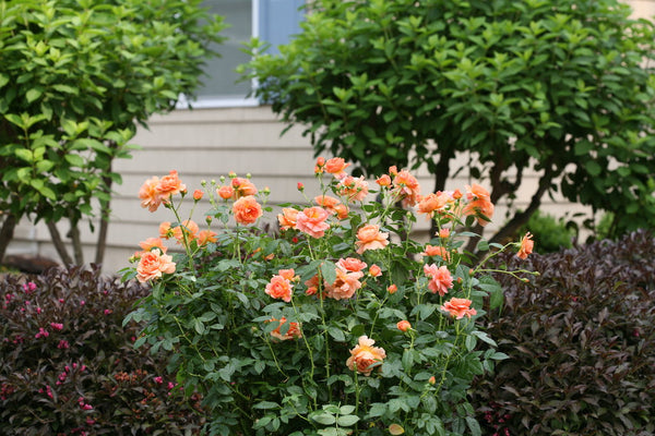 Rosa At Last (Rose) - 2 Gallon Shrub