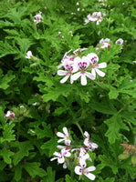Scented Geranium Citronella - Annual Flower Plug - Each