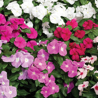 Vinca Mixed - Annual 6 Pack