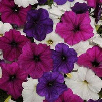 Petunia Easy Wave Great Lakes Mix -  Annual 4 1/2""