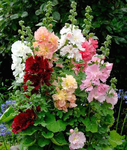 Hollyhock Spotlight Spring Celebrities Mix - Perennial 3 1/2""