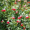 "Salvia Hot Lips - Annual 4 1/2"" - Each"