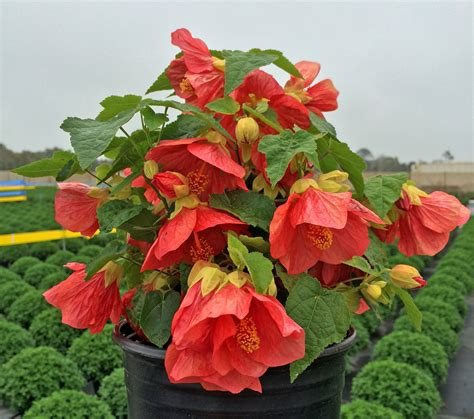 Abutilon Lucky Lantern Passion (Flowering Maple)- Annual Flower - Ellepot/Plugs Each