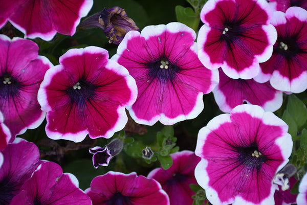 "Petunia Crazytunia Passion Punch - Annual 4 1/2"" - Each"