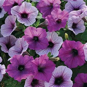 Petunia Easy Wave Plum Pudding Mix - Annual 4 1/2""