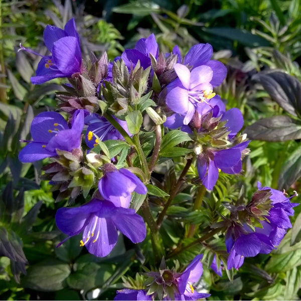 Polemonium Purple Rain Strain (Jacob's Ladder) - Perennial 3 1/2""