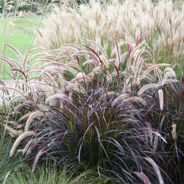 "Pennisetum rubrum Purple Fountain Grass - Annual 4 1/2"" - Over 12"