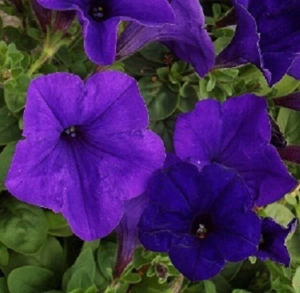 Petunia Easy Wave Blue - Annual 4 Pack