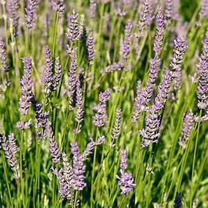 "LAVENDER SWEET - 3 1/2"" pot - SMALL"