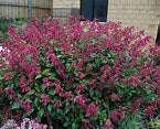 "Salvia Wendy's Wish - Annual 4 1/2"" - Each"