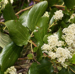 redroot Ceanothus velutinus in herbalism. Medicinal plant. harvesting process. wildcrafting.