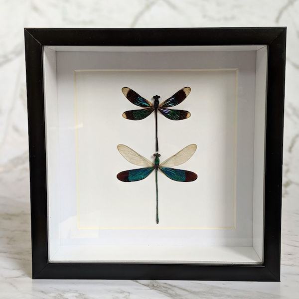 Framed Calopteryx Virgo & Neurobasis Chinensis