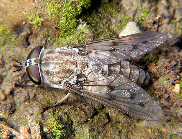 FlyCage – What are Horse Flies?