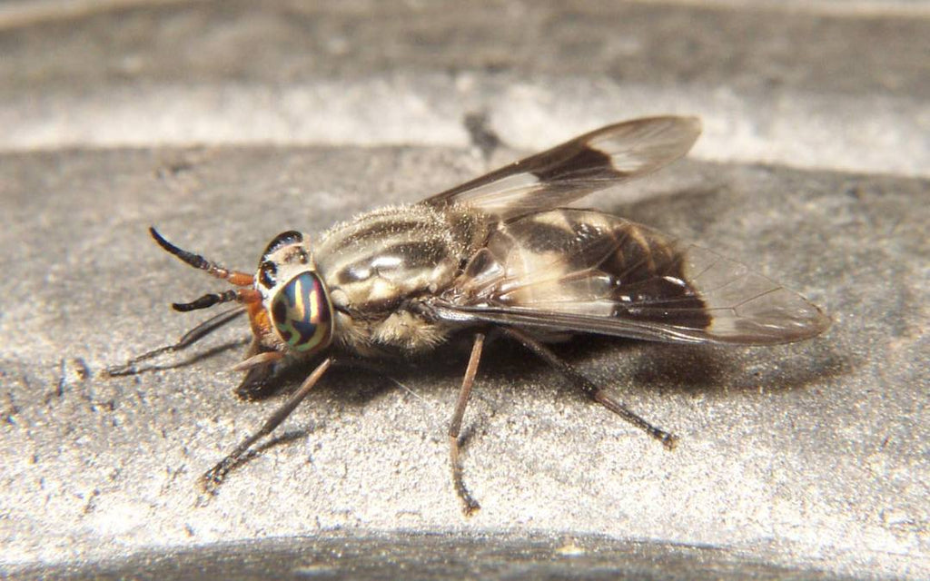 FlyCage – What are Deer Flies
