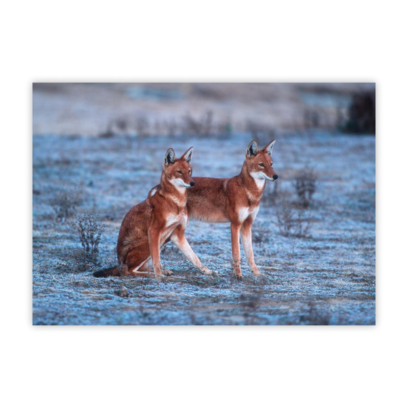 Ethiopian wolf Christmas cards