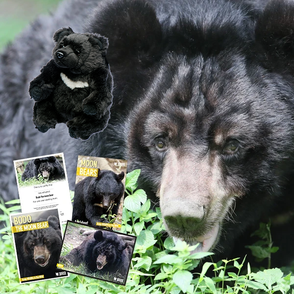 Adopt A Moon Bear - Bodo