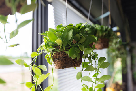Best Plants to Hang Planters Indoors