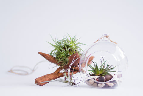 air-plant | Cestash