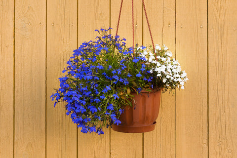lobelia flower in a pot
