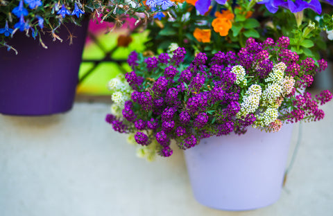 sweet alyssum flower in a pot