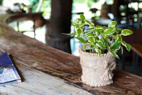 pothos plant in a pot