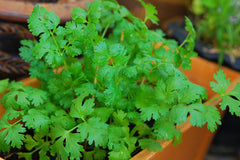 coriander in a pot
