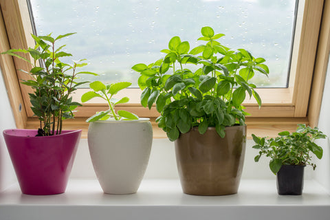 herbs in pots on window