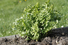lovage plant in soil