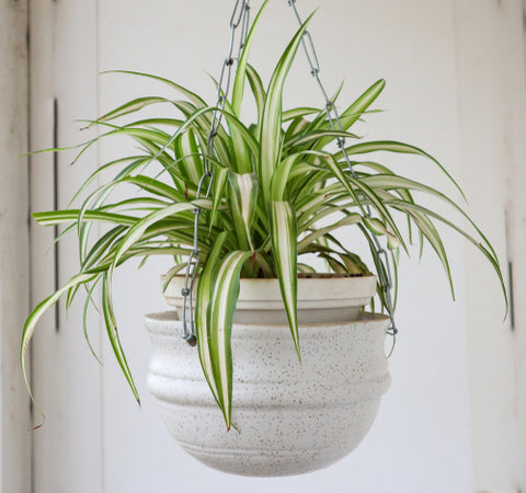 spider-plant | Cestash