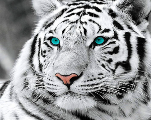 Paint by Numbers Kit Blue Eyed Tiger