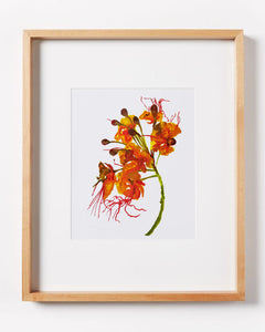 Mexican Bird of Paradise Print