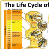 The Life Cycle of the Honeybee Family Poster