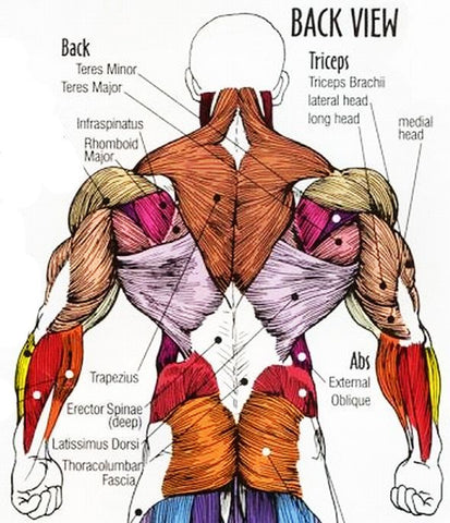 "<img src=""Anatomy_of_Back.png"" alt=""Anatomy Of Back Muscles"">"