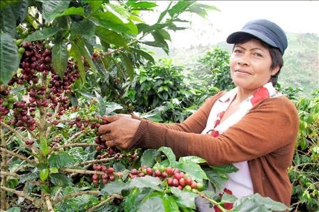 sustainable coffee roasting farmer picking earth friendly coffee