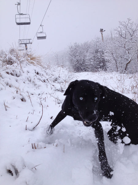 rescue dogs skiing snow hugo coffee roasters