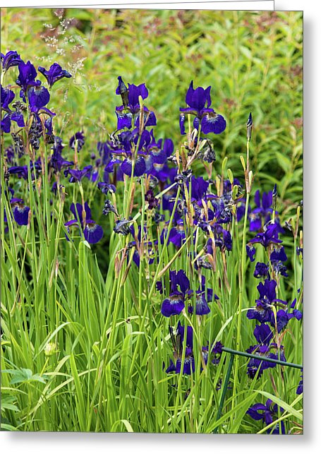 Blue Irises - Greeting Card