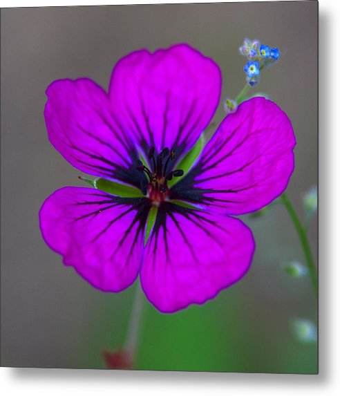 Delicate Beauty - Metal Print